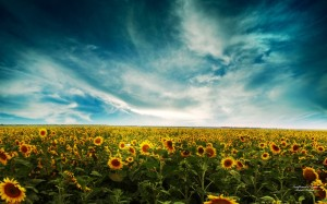sunflowers-15-1024x640